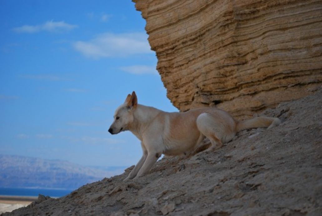 In Israel, a battle to save the ancient Canaan dog